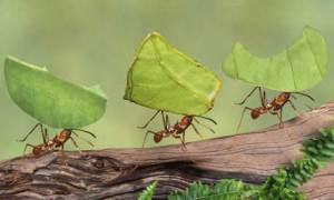 formiche-tagliafoglie