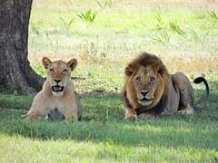 lions-175934__180