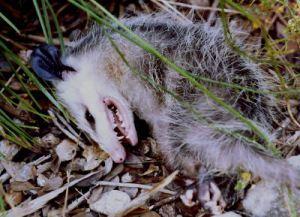 opossum-dead