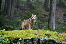 wolf-948285__180